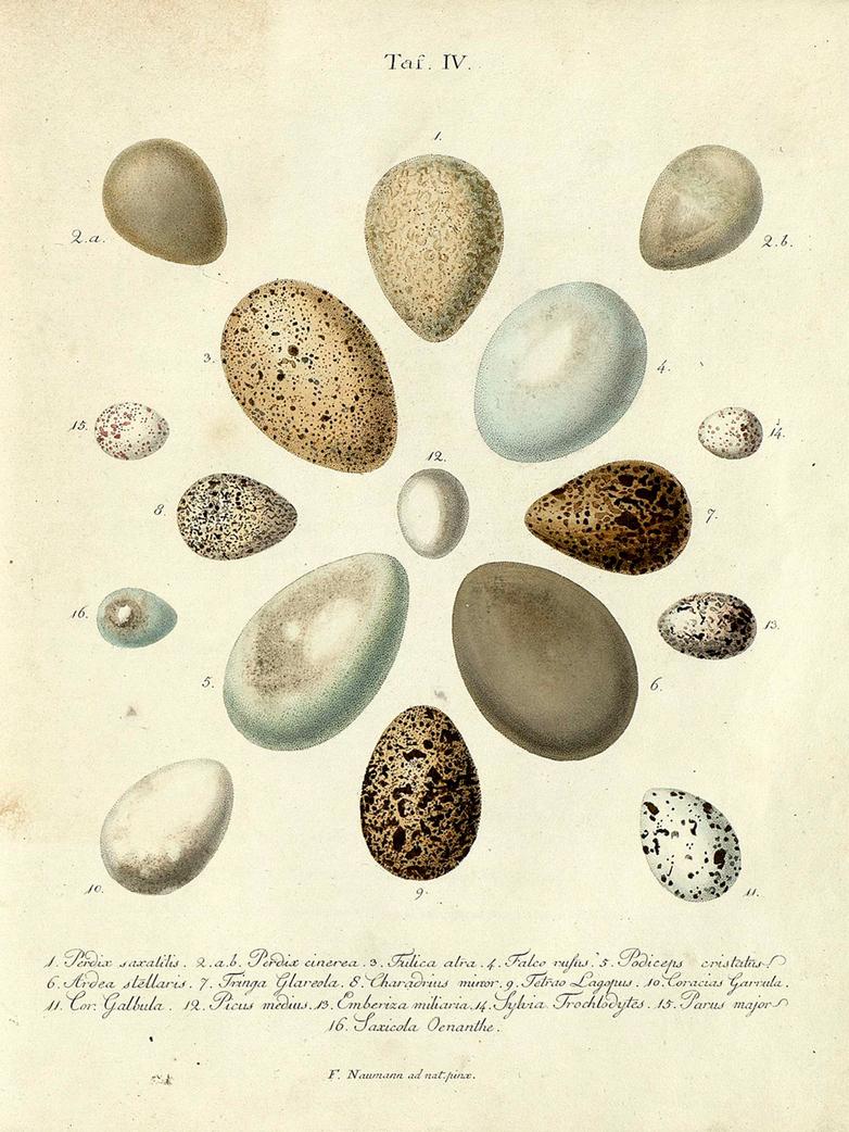 Eggs taf. IV